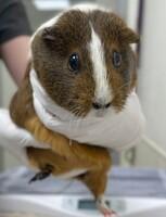Vicki the Guinea Pig