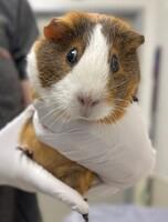 Connie the Guinea Pig