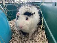 Jr. the Guinea Pig