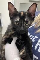 Abby Cadabby the Kitten
