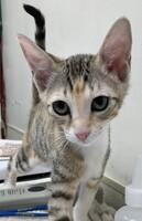 Alice Snuffleupagus the Kitten