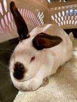 Hilda the Rabbit