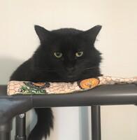 Klausie the Cat