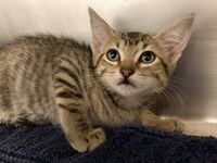 Briana the Kitten