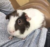 Pugsley the Guinea Pig