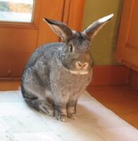 Grigio the Rabbit