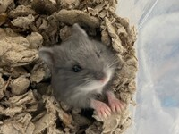 Crackle the Rodent
