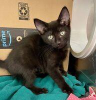 Kit Kat the Kitten